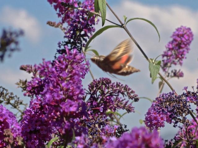 Sphynx (Hummingbird) Moth