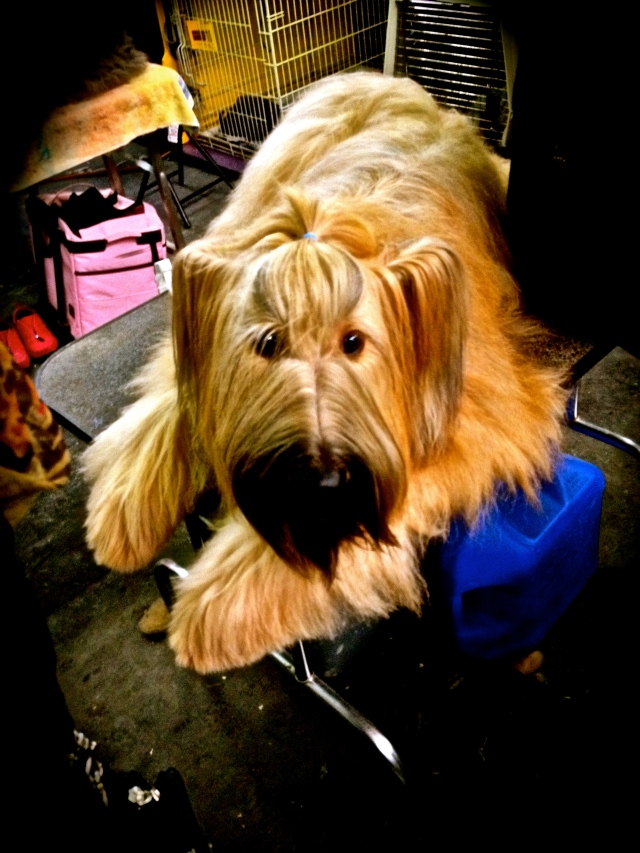 I love the ears - a good looking Briard